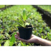 Muda de Orquídea Cattleya Luedemaniana coerulea x Intermedia coerulea aquinii 7015