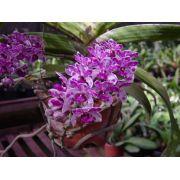 Muda de Orquídea Cattleya Rhy Gigantea S/A x Rhy Gigantea Orange 7068