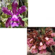 Muda de Orquídea Cattleya Schilleriana (Rubra x Labelão) ESP-090-1