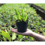 Muda de Orquídea Cattleya SSC Nº 2248 Lc. Cheri Belle Valentine x Lc. Shellie Compton Touch of Class MS1587