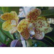 Muda de Orquídea Vandopsis Gigantea SP x Self. 3240