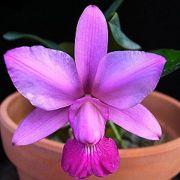 Muda de Orquídea Cattleya walkeriana var. flamea (Divina x T-57) ESP-106-2