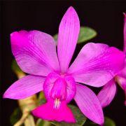 Muda de Orquídea Cattleya Walkeriana var flamea ESP-104-1