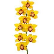 Muda de Orquídea Cymbidium Amarelo 10165-1