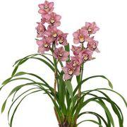 Muda de Orquídea Cymbidium Bed Flor 8377-1