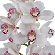 Muda de Orquídea Cymbidium Dawn Flor 8231-1