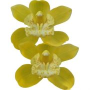 Muda de Orquídea Cymbidium Dolly 11127-1