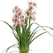 Muda de Orquídea Cymbidium Dwarf Pink 8171-1
