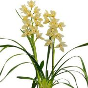 Muda de Orquídea Cymbidium Earlisue Paddy 18145-1