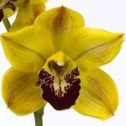 Muda de Orquídea Cymbidium Florisun 8239-1