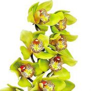 Muda de Orquídea Cymbidium Honey Green Melissa 8328
