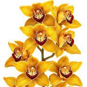 Muda de Orquídea Cymbidium Might 8387-1