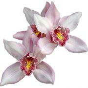 Muda de Orquídea Cymbidium Petit Surprise 8094-1