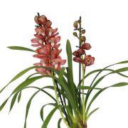Muda de Orquídea Cymbidium Red Beauty Roy 8529-1