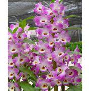 Muda de Orquídea Dendrobium Nobile 100 - DD100PA