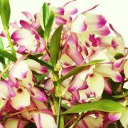 Muda de Orquídea Dendrobium Nobile 18 - DD18