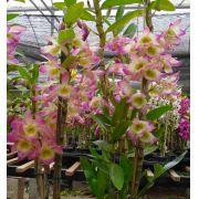 Muda de Orquídea Dendrobium Nobile 28 - DD28PA