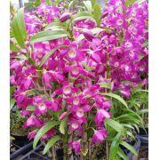 Muda de Orquídea Dendrobium Nobile 32 - DD32PA