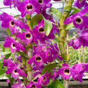 Muda de Orquídea Dendrobium Nobile 40 - DD40