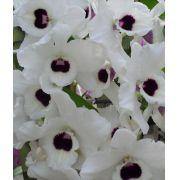 Muda de Orquídea Dendrobium Nobile 42 - DD42PA