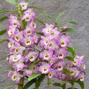 Muda de Orquídea Dendrobium Nobile 62 - DD62