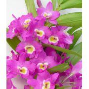 Muda de Orquídea Dendrobium Nobile 64 - DD64PA