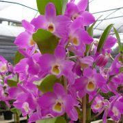 Muda de Orquídea Dendrobium Nobile 86 - DD86