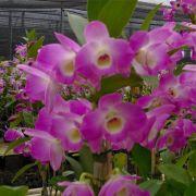 Muda de Orquídea Dendrobium Nobile 88 - DD88