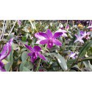 Muda de Orquídea Denphal Coerulia Roxa SG-7263