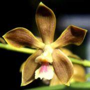 Muda de Orquídea Encyclia odoratissima ESP-137-PA