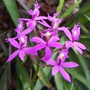 Muda de Orquídea Epidendrum Ibaguense 628-PA