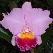 Muda de Orquídea Gorgeous Gold Pokai x Pot Exotic Dream N4 x C. Horace Maxima 8198-3
