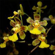 Muda de Orquídea Grandiphyllum harrisonianum ESP-145-2