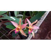 Muda de Orquídea Laelia Anceps x Catlleya Aurantiaca SG-7267