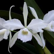 Muda de Orquídea Laelia purpurata alba ESP-165-PA
