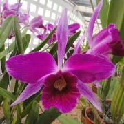 Muda de Orquídea Laelia purpurata (rubra x sanguinea) ESP-164-PA