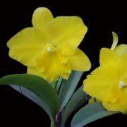 Muda de Orquídea Laelia purpurata x Blc Bryce Canyon Splendiferou x Blc Gorgeous Gold Pokai 7946-1