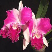 Muda de Orquídea Lc Aqui-Finn Natures Best 907-PA