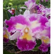Muda de Orquídea Lc Color Guard Magic Color 506