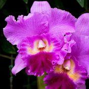 Muda de Orquídea Lc Drumbeat Triumph HCC/AOS X Lc Festival de Ouro X Lc Golden Meteor Cinabarina 8112-3