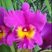 Muda de Orquídea Lc Drumbeat Triumph x Pot Sally Taylor Red x Blc Bryce Cannyon Splendiferous 8204-1