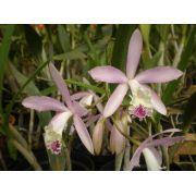 Muda de Orquídea Lc Fredna SG-7365