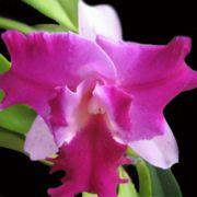 Muda de Orquídea Lc Hausermanns Firewings Pegasus 323-1