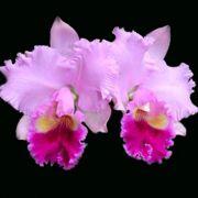 Muda de Orquídea Lc Hawaiian Drumbeat 144-1