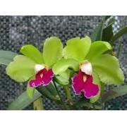 Muda de Orquídea Lc Kencolor 72