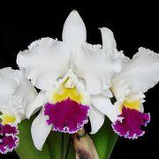 Muda de Orquídea Lc Mikkie Nagata x Lc Persepolis Splendor 8220-1