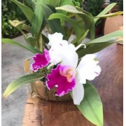 Muda de Orquídea Lc Mild Compton Ct Yukiyama Asaki 59