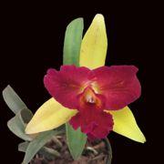 Muda de Orquídea Lc Nobiles Confetti 109-1