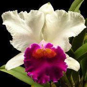 Muda de Orquídea Lc Persepolis x Lc Mikkie Nagata 8202-1