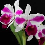 Muda de Orquídea Lc Remo Prado Crown 282